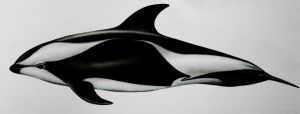 Hourglass dolphin by Amersss