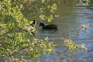 Coots by oxalysa