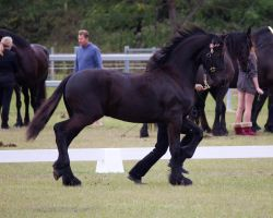 STOCK - Friesian Show 2012-54 by fillyrox