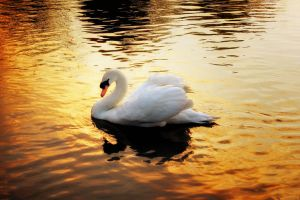 Gold 1: Swan+Sundown by Coigach