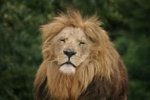 Lion Resting 16148930 by StockProject1