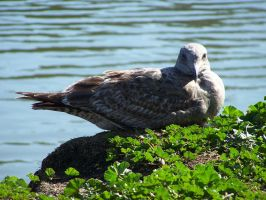 Seagull 05 by venom-stock