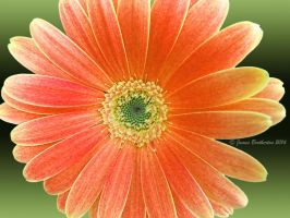 Gerbera Daisy by jim88bro