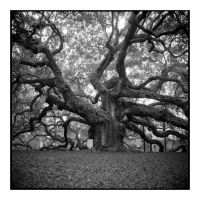 2015-009 Angel Oak - standing tall by pearwood