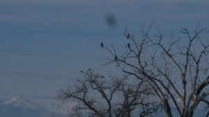 eagles in the tree 2 by EnforcedCrowd