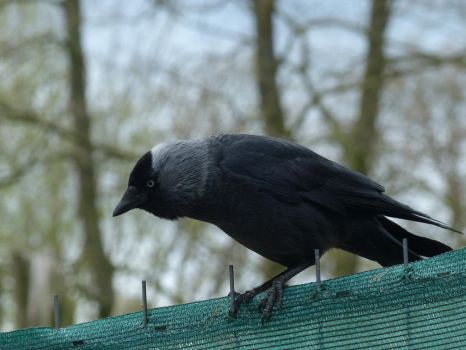 Jackdaw 6 by mrscats