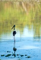 Black-Necked Stork by tectonixr