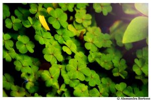 Clovers by Elena1150