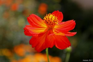 Orange cosmos1 by malaladanila