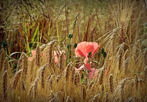 Poppies in cornfield by April-Mo