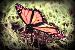 Butterfly by ambie-bambi
