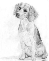 Beagle Sketch by AmandaTolleson