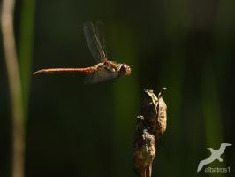 Flying Sympetrum flaveolum  by albatros1