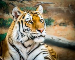 Majestic Tiger by benraven