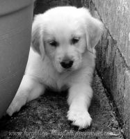 Golden Retriever puppy 3 by Forgotten-Fairytale