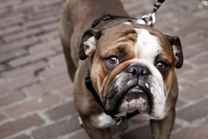 Boston Bulldog by Omega300m