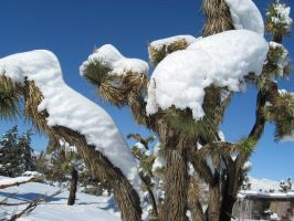Snow On Joshua Trees by angelskissme