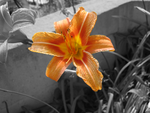 Orange Day Lily by LadyBrookeCelebwen