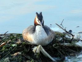 great crested grebe by uterueger