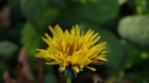 Dandelion by edenprojects
