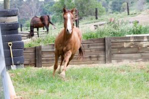 Km QH canter front view by Chunga-Stock