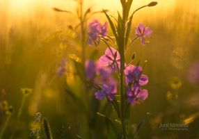 Flower Of Fireweed by Nitrok