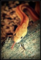 cornsnake by IllumAdora
