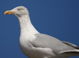Adult Seagull by BlueFireVixon