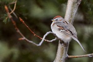 American Tree Sparrow - Poplar Perch by JestePhotography