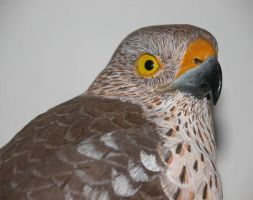 Sharp-Shinned Hawk3 by Bagheera3