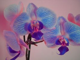 orchid by VioletHill1511