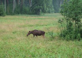 Moose in the meadows by ArcticIceWolf