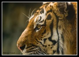Eye of the Tiger by tleach0608