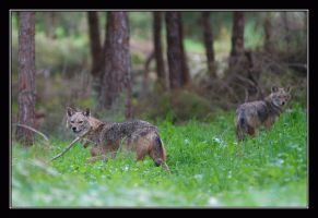Wolfs by invisiblewl