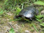 turtle by Commanding-photos