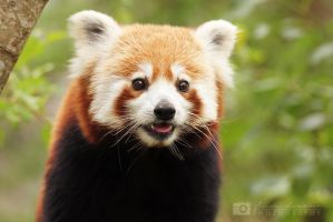 Red Panda by Fridooh