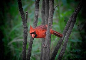 Male Cardinal in a tree by Tailgun2009