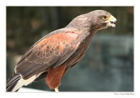 Harris Hawk With A Mouse by ladynightseduction