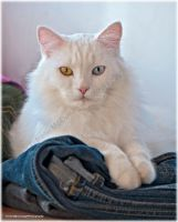 Ziggy on pile of Jeans by substar
