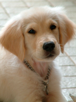 Golden Retriever Pup by xGLSMx