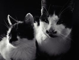 black white cats by chillpaper