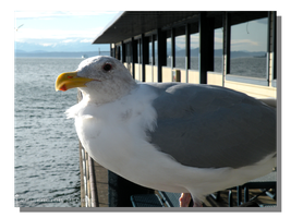 Ivar's Seagull by WillFactorMedia