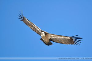 Griffon Vulture in Pyrenees I by LInconnu24