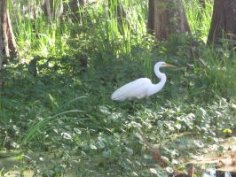 Great white heron 03 by CotyStock
