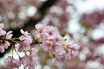 Cherry Blossoms 3 by eyefish