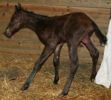131 : Newborn Foal Standing by Nylak-Stock