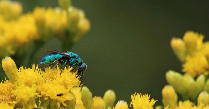 Cuckoo Wasp by myekeh