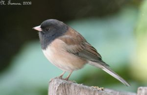 Oregon junco by NTamura