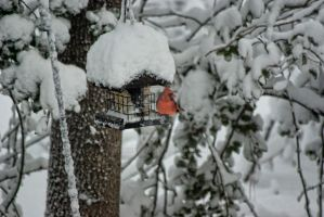 Cardinal In The Snow by Lion6255