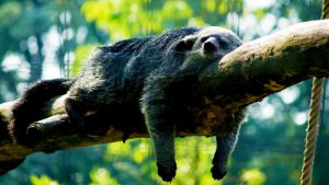 Sleepy Binturong by martinelfrink